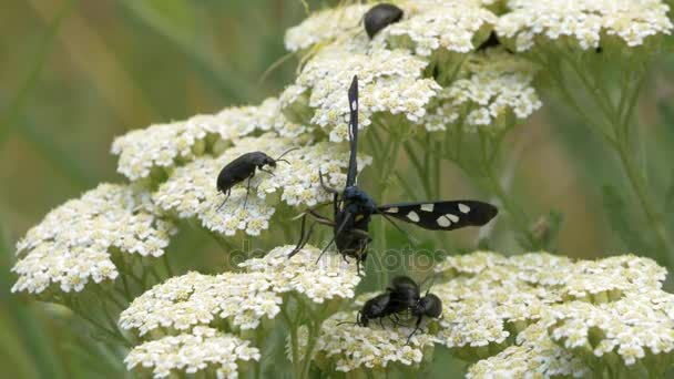 Black butterfly with white dots wings taking pollen of flower near black bugs