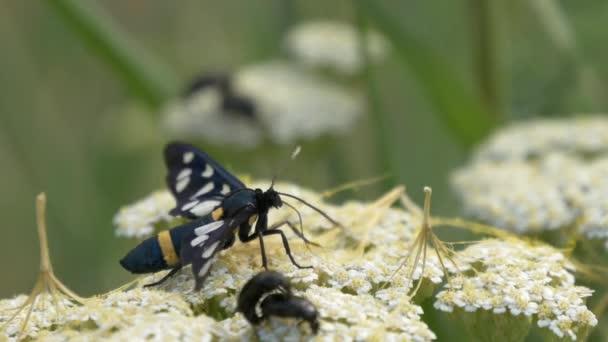 Černý motýlek s bílými tečkami křídla, přičemž pyl květin s černým chyb