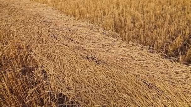Beveled ears of wheat. Wheat field. Harvest.