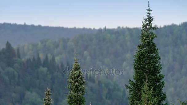 Kymácející korunách jedlí. Horská borovice lesní. Šedá obloha. Malé mlha. Haze. Podzim v pohoří Ural.