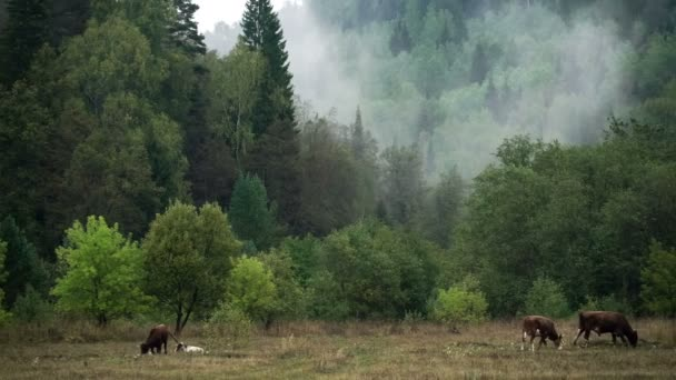 Slope of the mountain covered with coniferous forest. Haze. Cows graze.