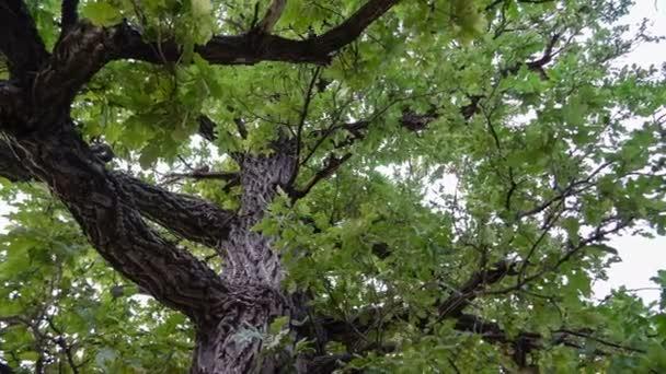 Tölgy fa teteje. Panoráma. Zöld levelek. Erősen. Megbízható védelem.