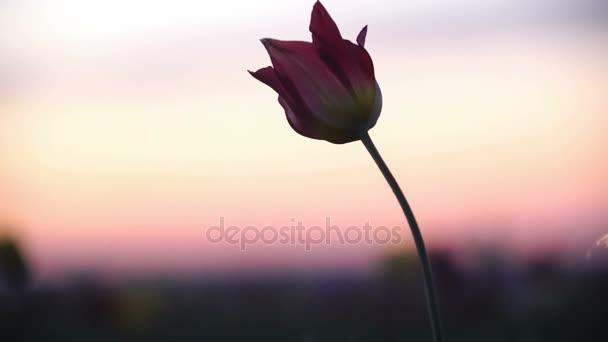 Divoké Tulipán na pozadí oblohy. Východ slunce. Stepi přichází k životu na jaře.