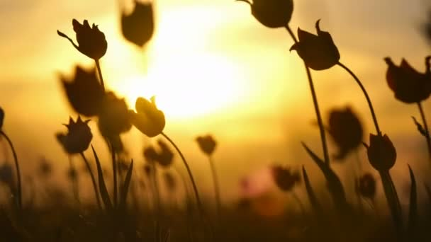 Wild tulips in a sunny meadow on background sky. Sunrise. The steppe comes to life in the spring.