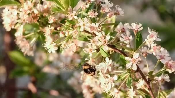 Větve bílé Kvetoucí třešeň. Čmelák na květ. Koncept krásná příroda na jaře pozadí. Roční období, zahradnictví, obdivoval květiny