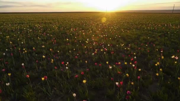Vad tulipán egy napsütötte réten áll a háttérben ég. Sunrise. A sztyeppei tavasszal életre kel.