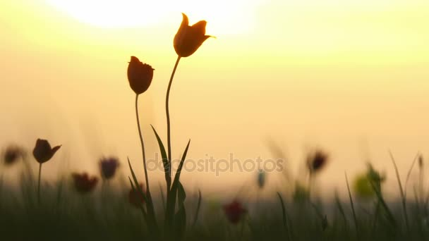 Divoké tulipány na louce na pozadí oblohy. Východ slunce. Stepi přichází k životu na jaře