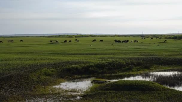 Krávy pasoucí se na zelené letní louky. Obloha a mraky na pozadí
