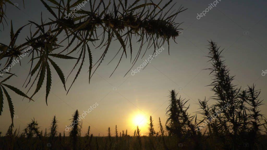 Wide shot of marijuana field in the amazing sunset background.