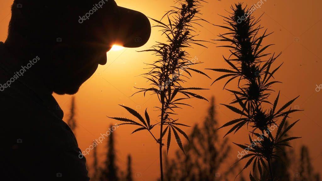 Medium shot of the man processing the marijuana field in the sunset background.