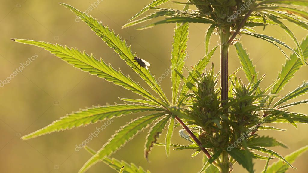 Close-up shot of marijuana at the sunset background.