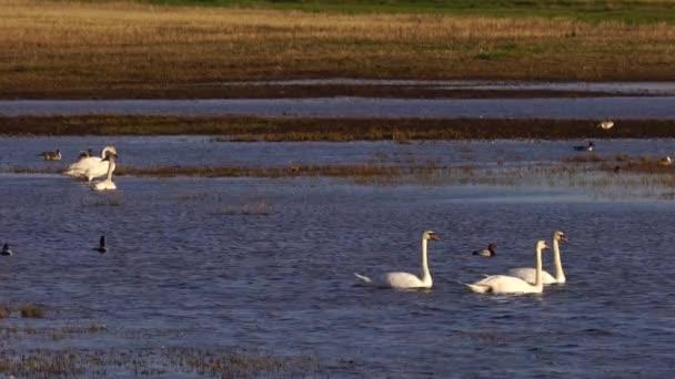 Weiße Schwäne und verschiedene kleinere Vögel in Harmonie am See.