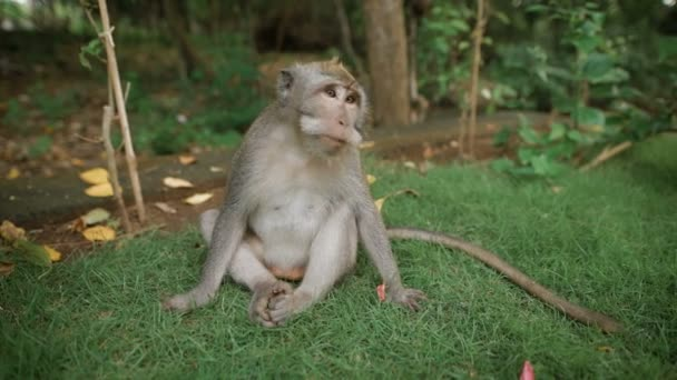 Zoo v Bali. Opice sedící v trávě a hledáte něco kousat. Ona najde oříšek a snaží se hryže. Její hnědé, dlouhý ocas a ostré zuby. V Bali, krásná příroda.