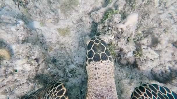 Very beautiful exotic turtle floats on the ocean floor and eats algae. Top view of the marine fauna. Diving near the tropical island of Bali.