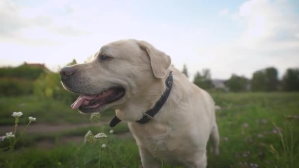 Labrador dog in close up. Female owner comes and fasten the leash