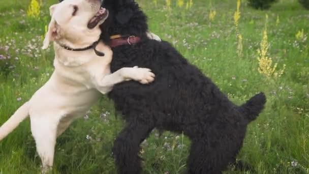 Labrador pes a pes Pudl královský spolu hrají v parku