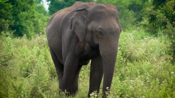 a young elephant eats green grass which she saw in the forest, the animal waves with a trunk and ears