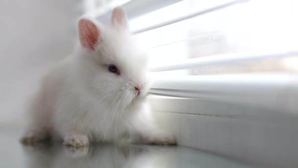 Bílý králík na parapetu na pozadí žaluzií