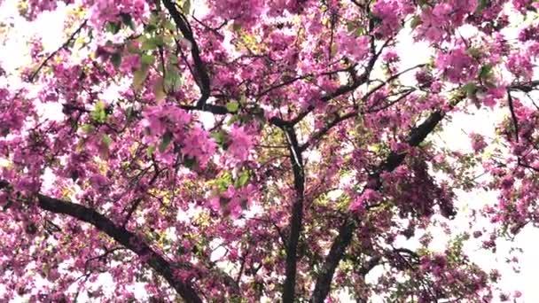 Jabloň květ kvete na jaře, květinové pozadí