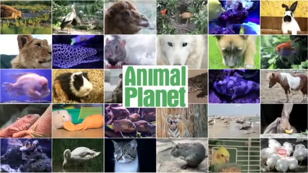 Video editing of wildlife footage, many videos of different animals and birds, Full HD collage