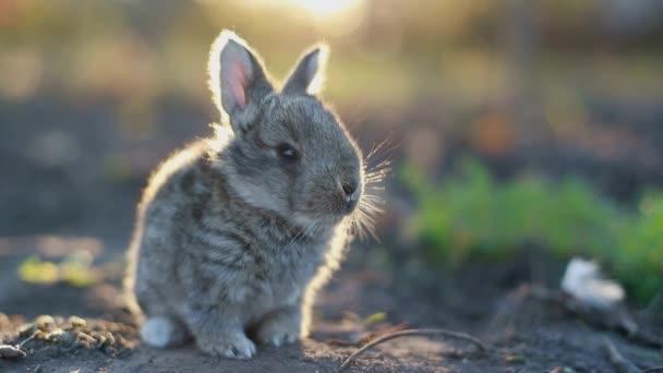 šedý králík žere trávu, králíček šedý