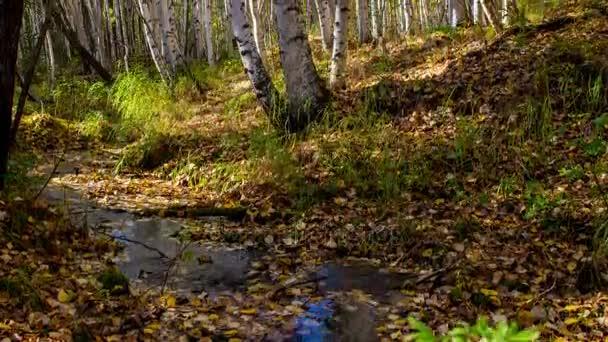 Potok protéká slunečný podzimní březový les. Časová prodleva. Pohyb
