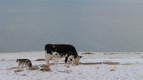 Hunde bellen eine Kuh an, die im Winter weidet und Gras frisst
