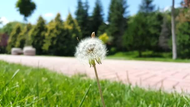 Selektivní zaměření na bílou načechranou pampeliškovou květinu houpající se s větrem v parku.