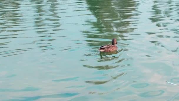 Slow motion female mallard duck swimming in a pond