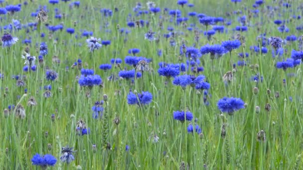 Cornflowers blooming in wheat field, flowers and organic food