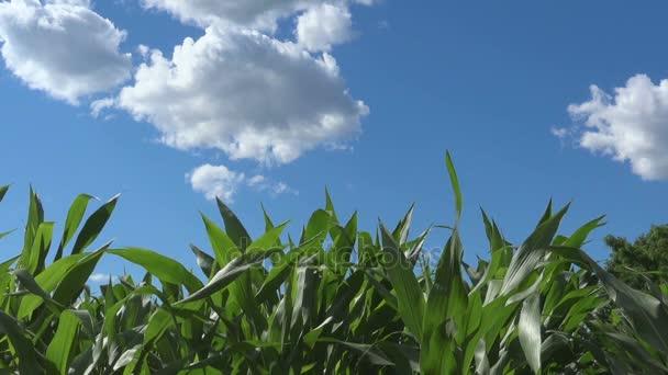 Zelená kukuřičné pole, ekologické potraviny a zemědělství zemědělství