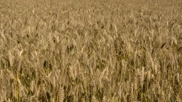 Érett búza mező napsütéses napon, nyári mezőgazdasági