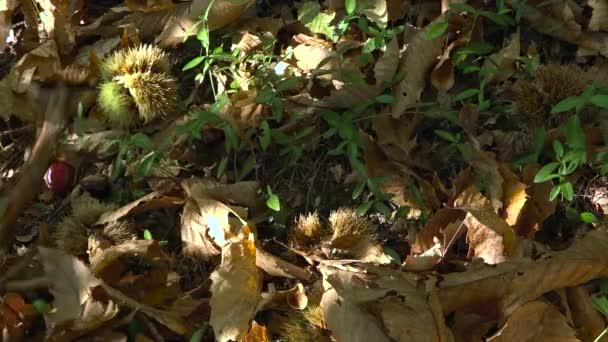 Sběr sladké kaštany a skořápky v lese