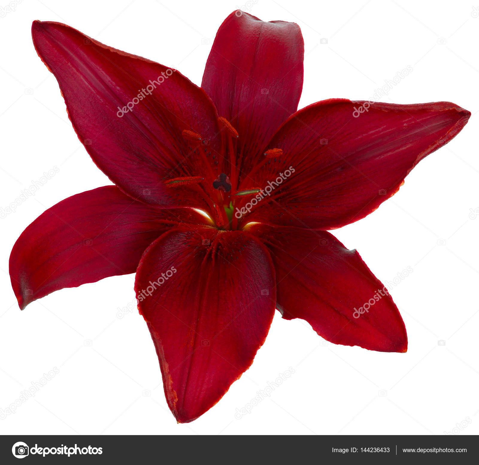 Bright red lily flower photographed close up isolated on white bright red lily flower photographed close up isolated on white background photo by olgapkurguzova izmirmasajfo
