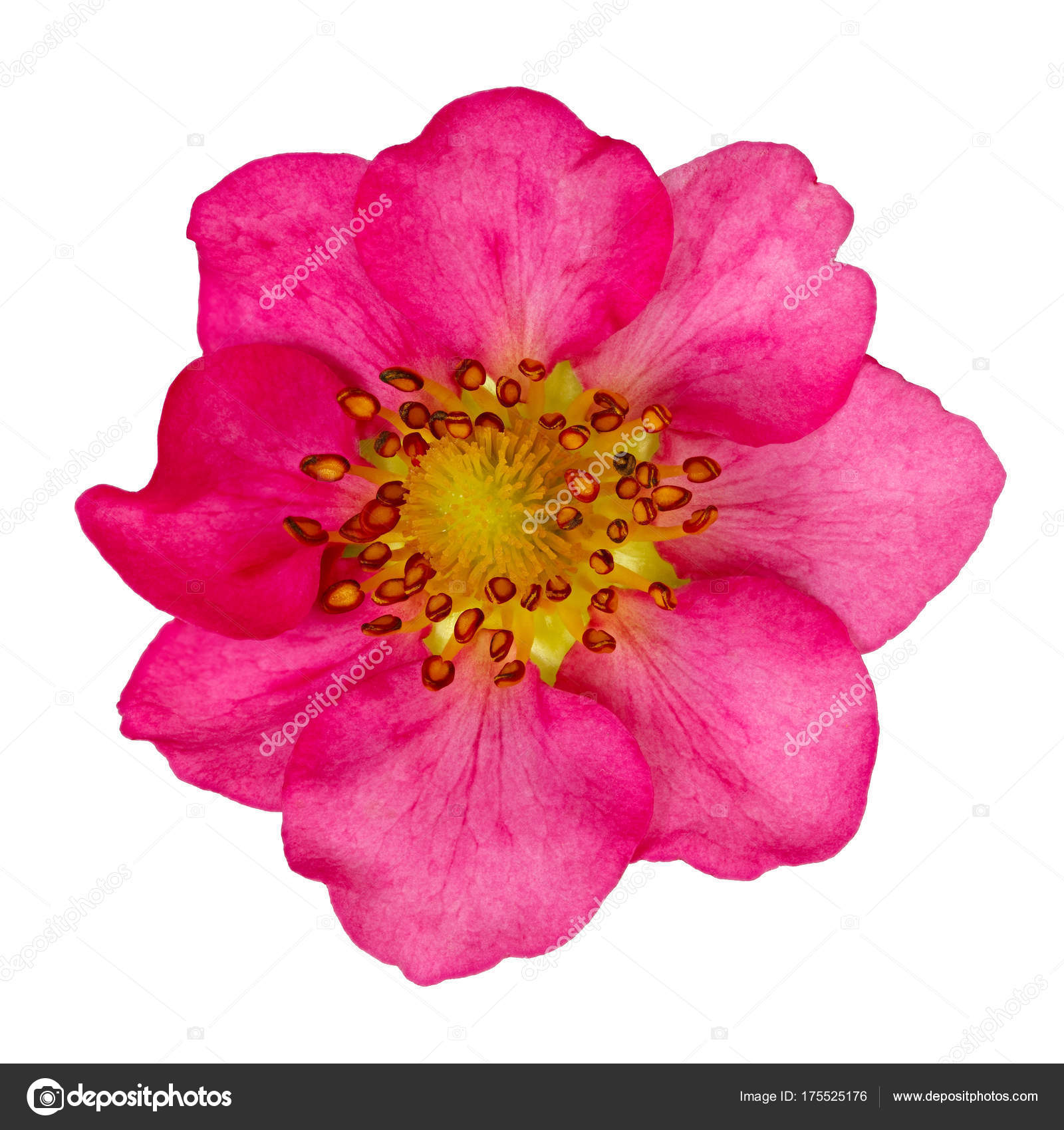 Pink Flower Strawberries Isolated Bud Of A Blossoming Plant Stock