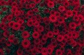 Fotografie Červené květy chryzantémy
