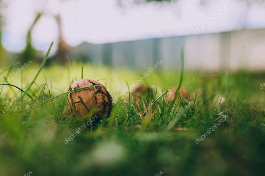 Walnuts on green grass