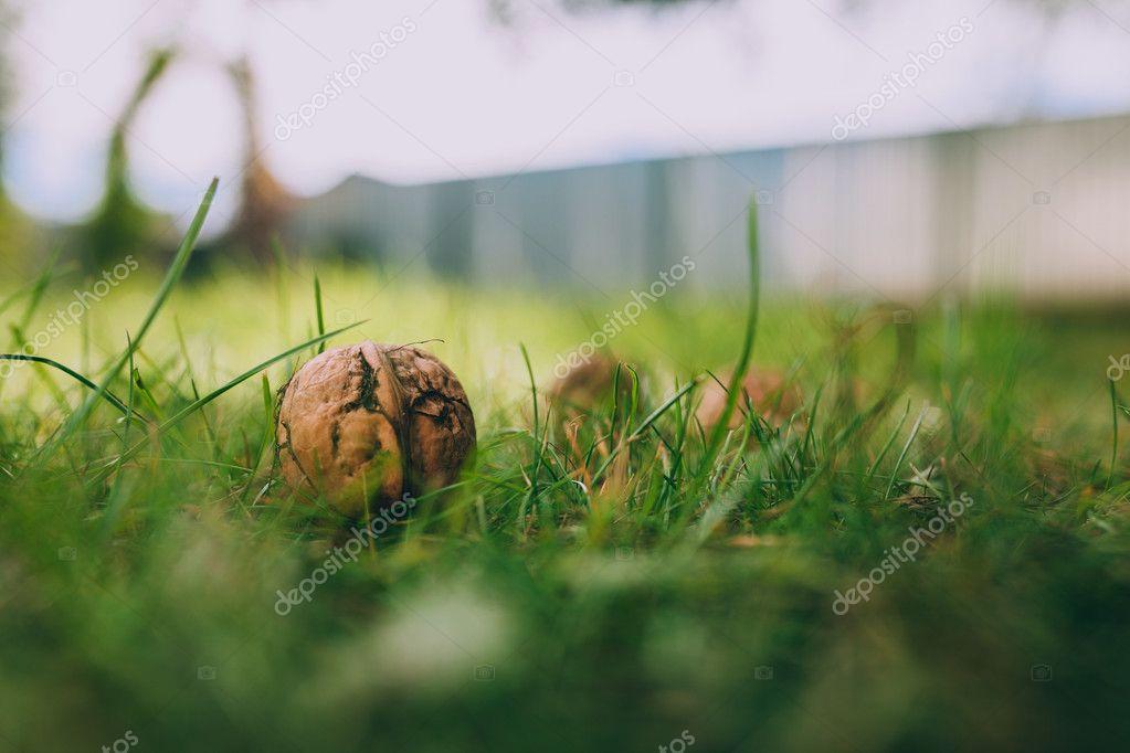 ripe Walnuts on green grass