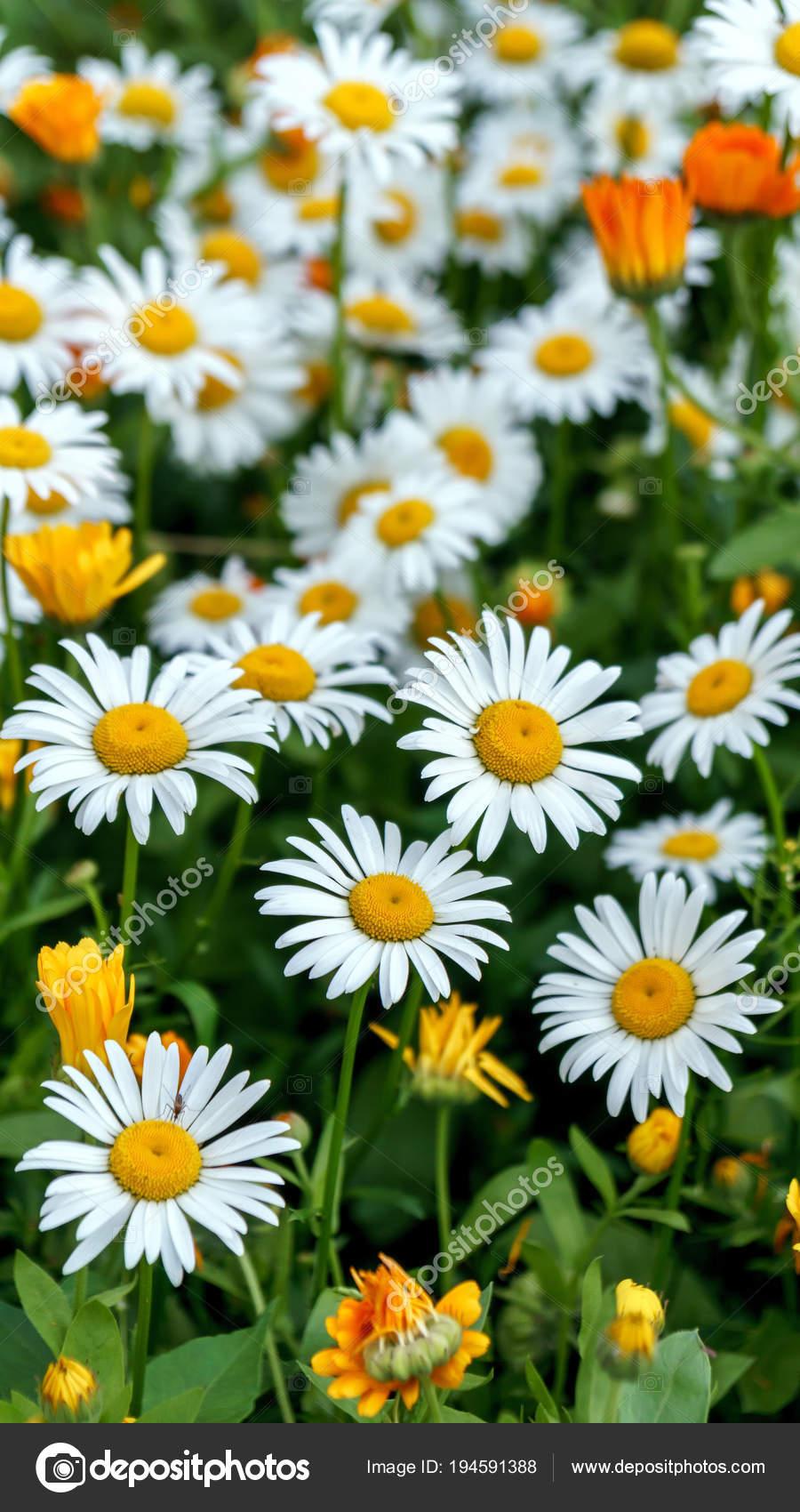 Ромашки на лугу расцвела среди желтые цветы — Стоковое ...