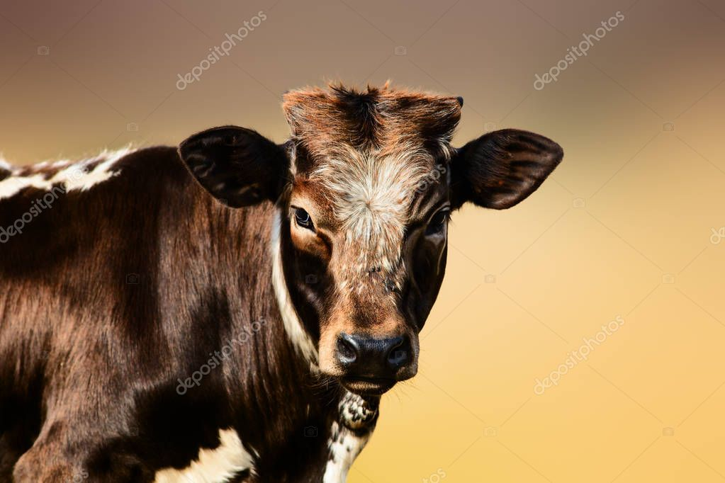 Young brown cow portrait. Nguni breed from Africa