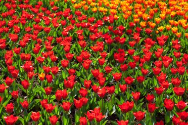 Beautiful colorful tulips.