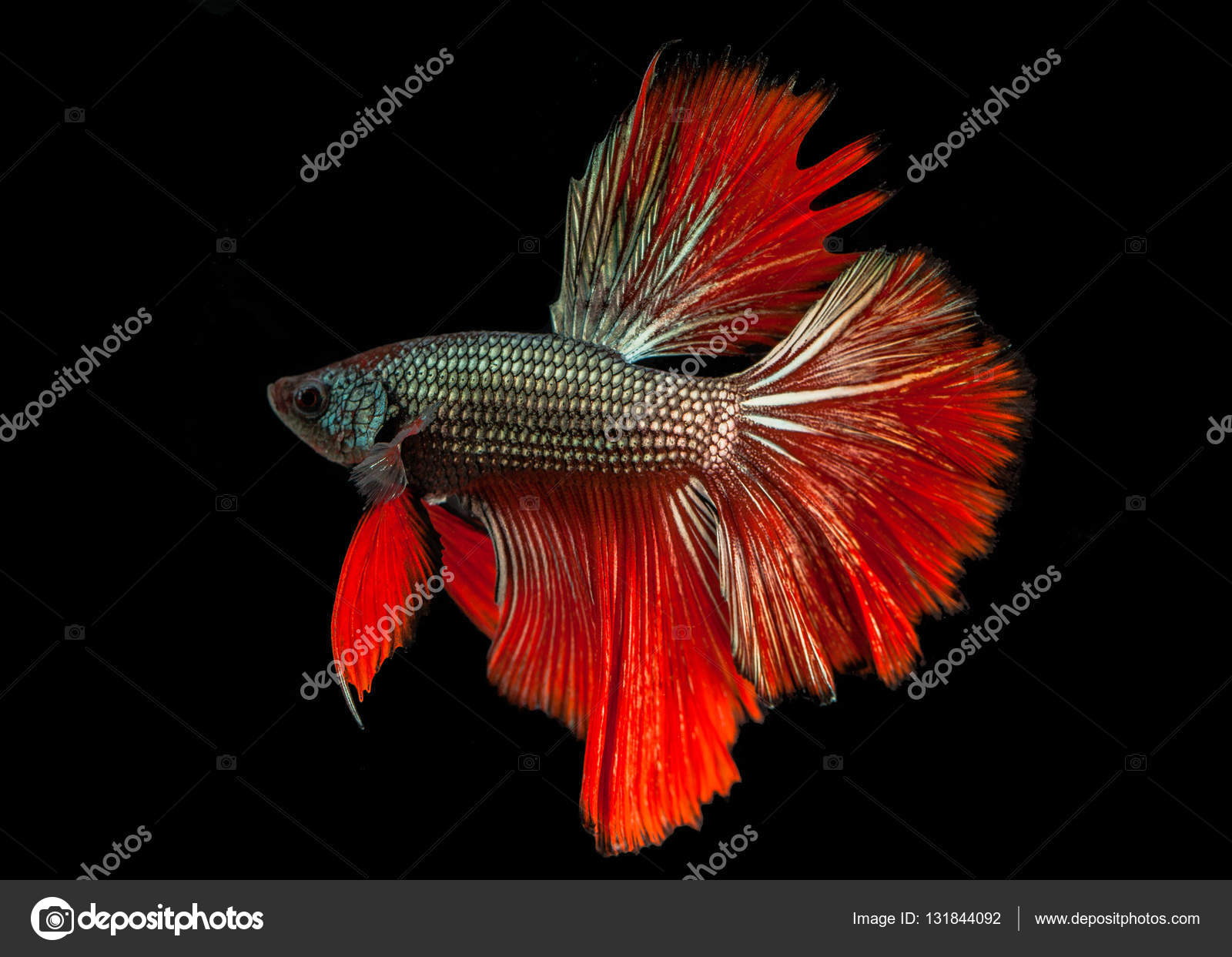 Siamese fighting fish — Stock Photo © thaisign #131844092