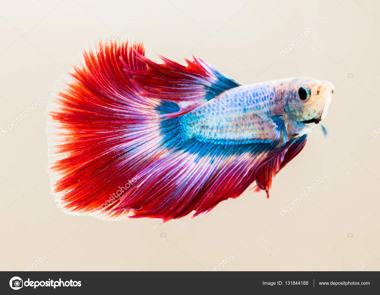 Siamese fighting fish — Stock Photo © thaisign #131844188