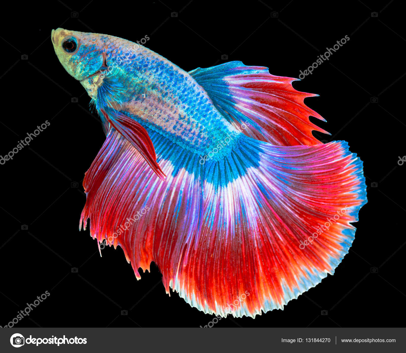 Siamese fighting fish — Stock Photo © thaisign #131844270