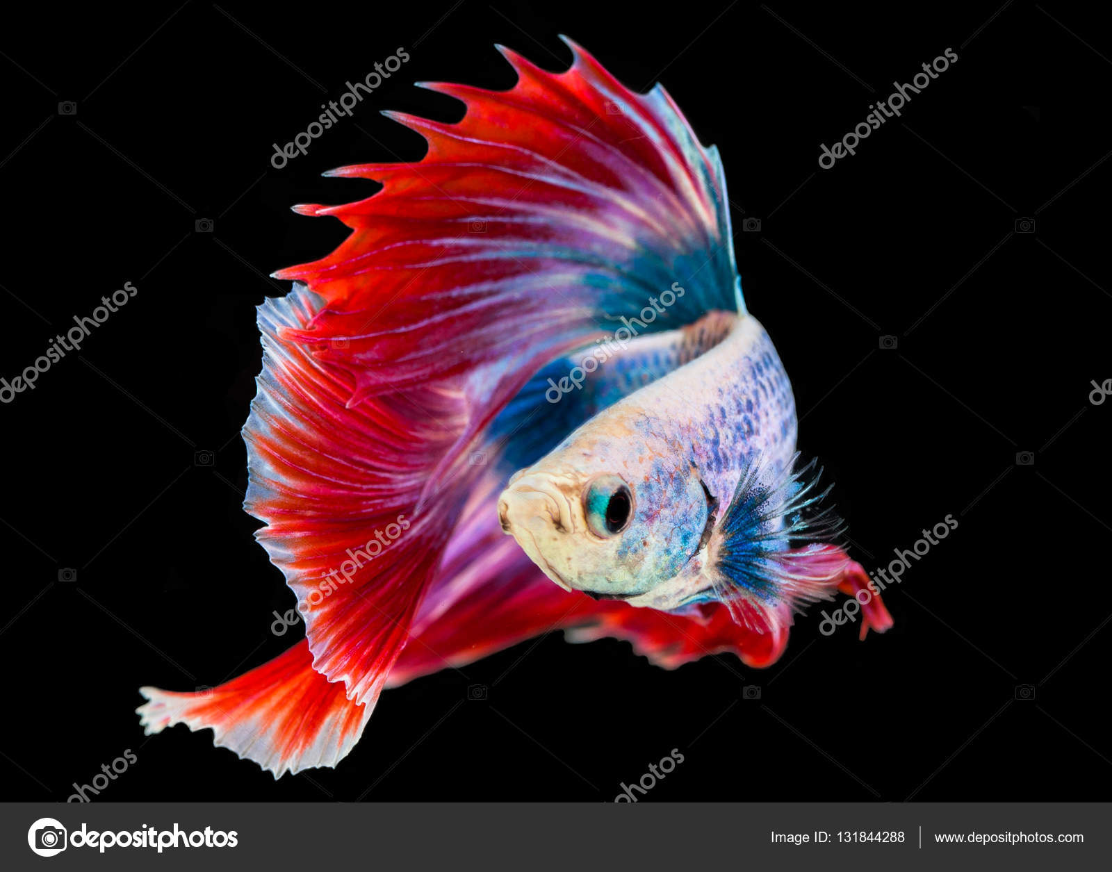 Siamese fighting fish — Stock Photo © thaisign #131844288