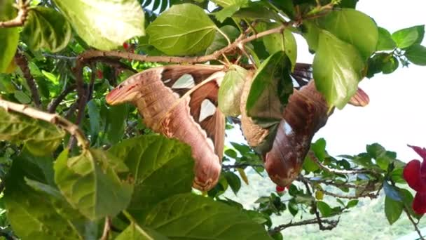 Attacus atlas Moth the giant butterfly