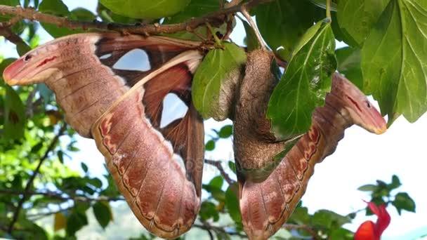 Attacus atlas moly az óriás pillangó