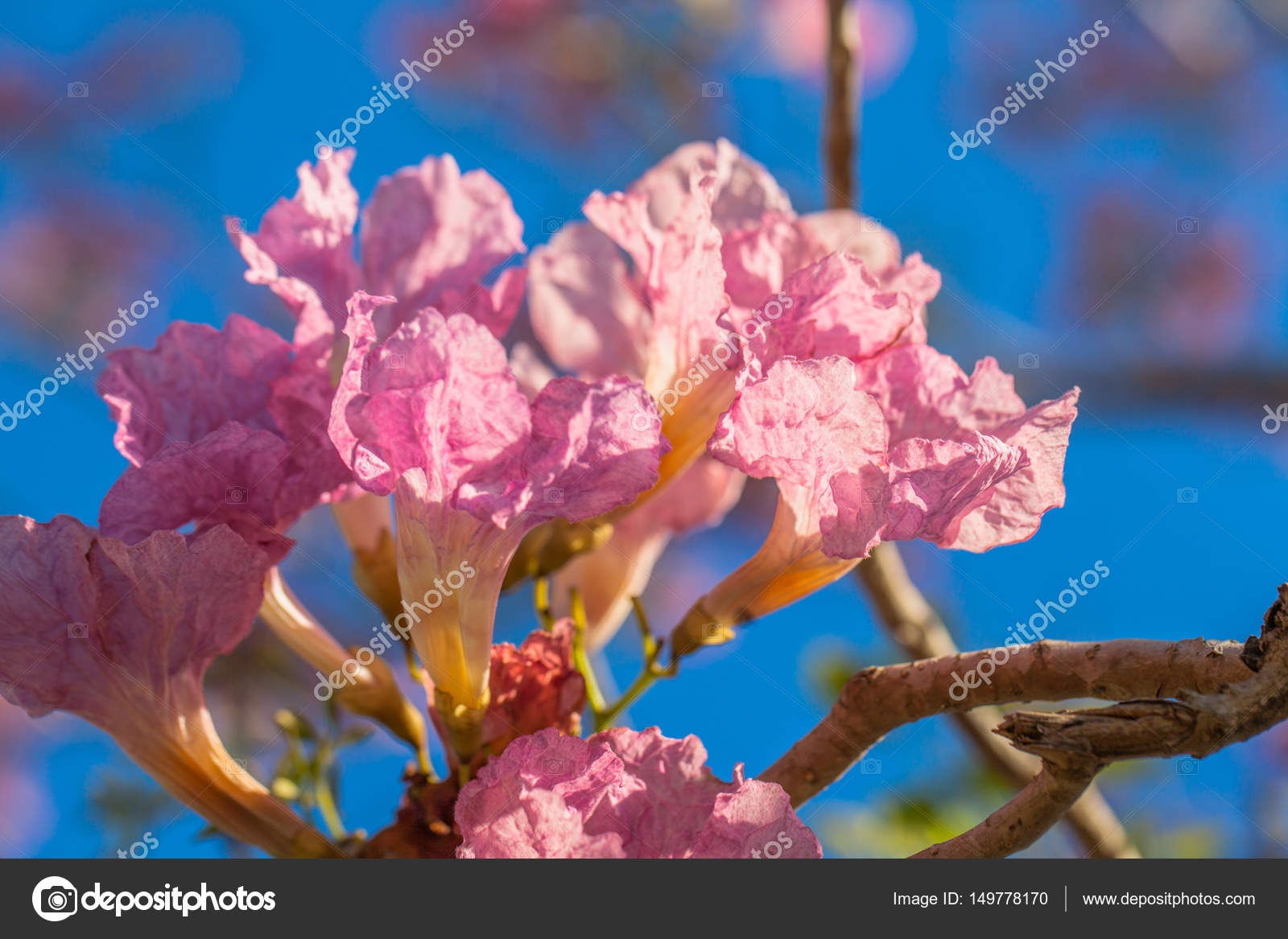 Pink trumpet flower tree stock photo thaisign 149778170 pink trumpet flower tree stock photo mightylinksfo