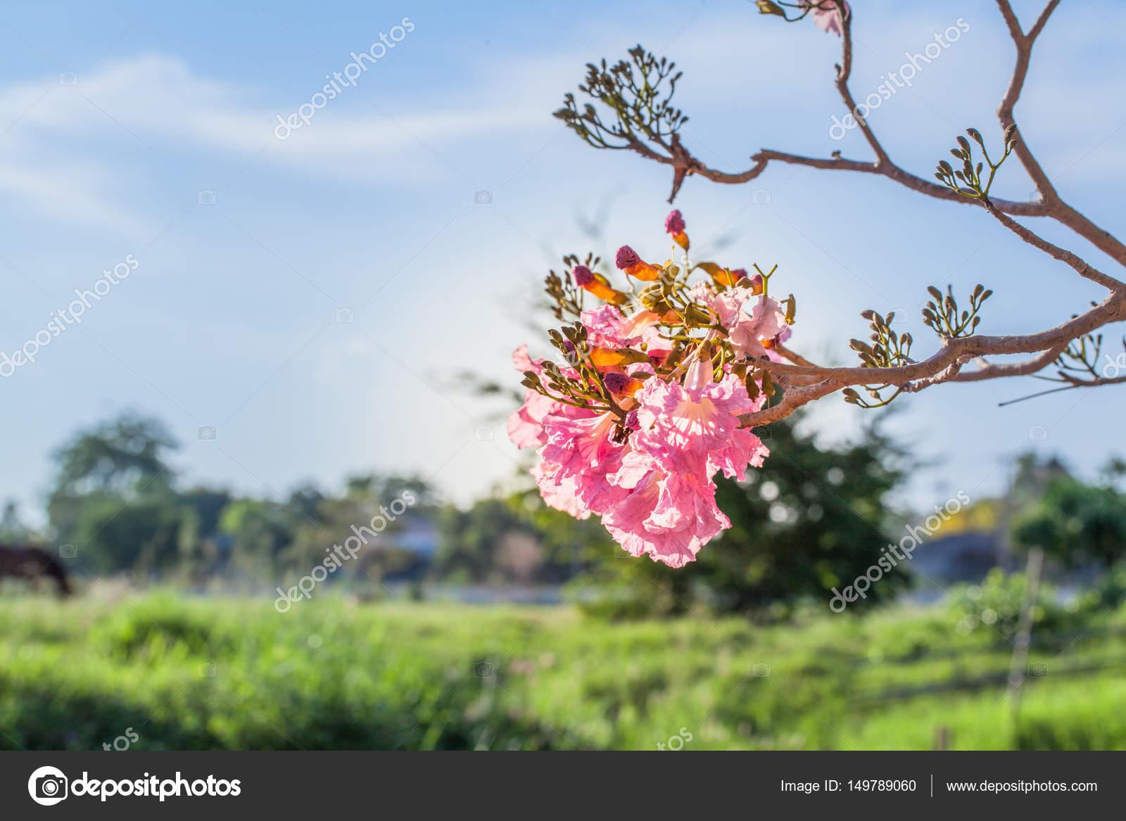Pink trumpet flower tree stock photo thaisign 149789060 pink trumpet flower tree stock photo mightylinksfo