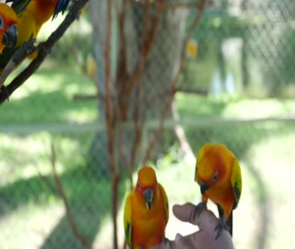 uccelli colorati Conuro del sole